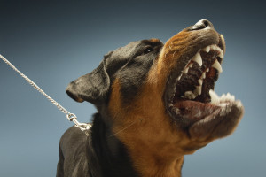 Rottweilers can be a dangerous dog breed because they are heavily muscled.