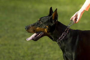 Doberman Pinschers have been used in the military and can be a dangerous dog.