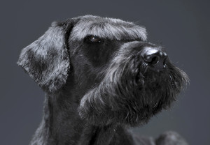 Giant Schnauzers are a dangerous dog because of their territorial natures.
